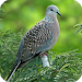 Download Spotted Dove Sounds 1.0 APK